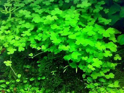 Hydrocotyle Tripartita  Japan  In Vitro   Live Aquarium Plants Buy2get1free