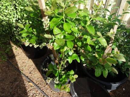 2 Blueberry Trees/Shrubs Laden with Fruit