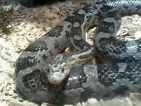 Corn snake, urgently needs new home