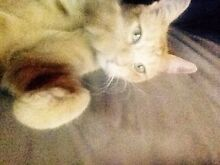 Affectionate Male Ginger Cat Elizabeth North Playford Area Preview