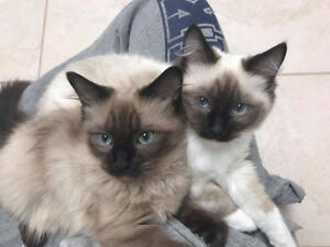 Looking for a female tradition ragdoll kitten