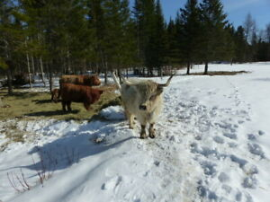 Highland Cattle for sale by hobbyfarmer