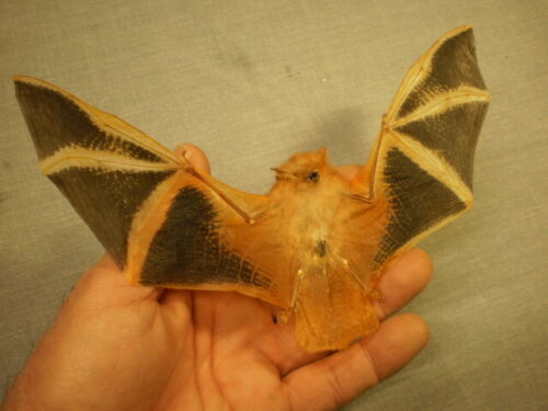 Taxidermy real bat flying  mount Kerivoula picta perfect specimen