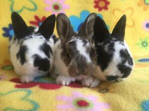 Baby Mini Rex Bunnies Ready to Leave