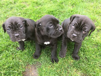 Beautiful pure breed Cane Corso puppies for sale