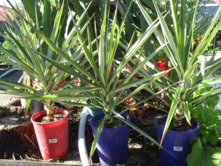 Yukka/Yacca plants for sale