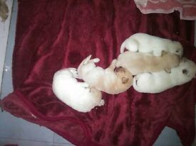 labrador pups for sale fully kc registered