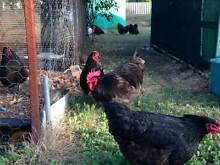 Pure Bred Chickens Gosnells Gosnells Area Preview