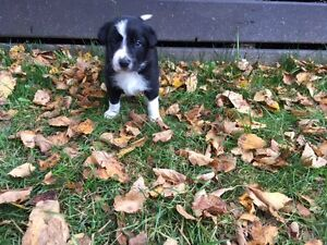 Purebred Male Border Collie Pup For Sale - Thunder Bay