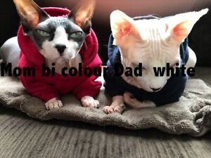 PUREBRED TICA  PAPERED SPHYNX KITTENS.  (Located in North Delta)