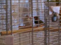 Pair Zebra Finches with cage.