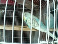 Baby hen budgies for sale.