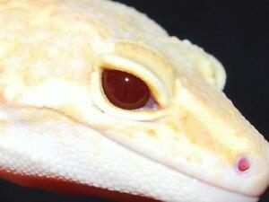 baby leopard gecko's also 1 adult