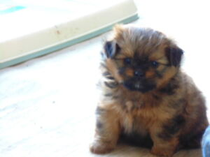 Shihtzu Puppies Plus the Mom is for sale