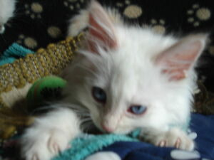 RAGDOLL FLAMEPOINT GORGEOUS BROTHER KITTENS