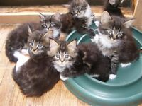 Maine Coon Kittens for sale!!
