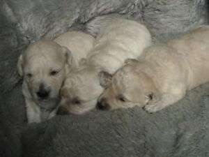Beautiful Bichon Poo's Ready For New Homes Dec. 6