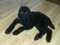 Chiot Caniche Royal (Standard Poodle puppy)