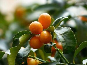 5-graines-de-kumquat-fortunella-margarita