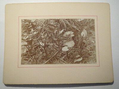 Calla palustris am Rhin bei Reinsberg i. M. / KAB Drachenwurz um 1900