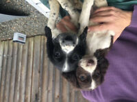 Springer Spaniel puppies for sale.