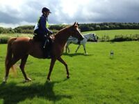 Wanted - experienced rider/ sharer for 15hh Arab