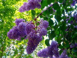 Baby Lilac Bushes on Sale now, large size, 3.00