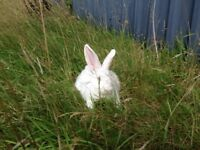New Zealand and/or Californian Rabbits