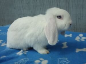 Beautiful Purebreed Holland Lop Male Bunny For Sale