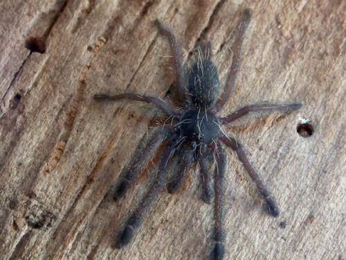 """Tapinauchenius Cupreus (Ecuadorian Copper Tree Spider) Tarantula 2.5"""" Specimen"""