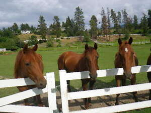 Tenessee Walker horses for sale