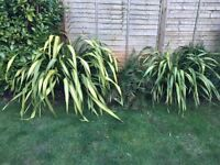2 x Phormium tenax (New Zealand Flax) plants, each 1-1.5m wide