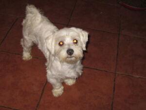1 Maltese boy for sale   NB SPCA# 0673