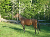 Arab/Standardbred Mare for Sale