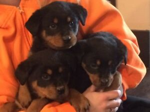 Beautiful Purebred Rottweiler Pups