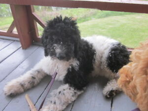 Goldendoodle Puppy 4mo- Experienced!!