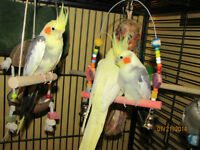 Looking For A Proven Breeding Pair Of Cockatiels