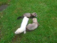 Ferret Kitts