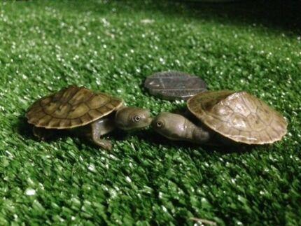 Short Neck Turtles Mentone Kingston Area Preview
