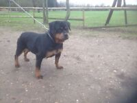 ** LARGE GERMAN ROTTWEILER FEMALE **