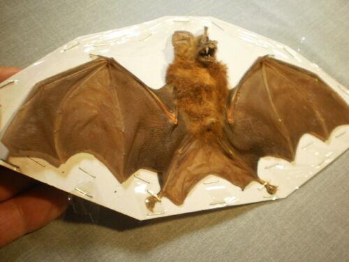 Taxidermy real bat flying  mount Hipposideros larvatus perfect specimen
