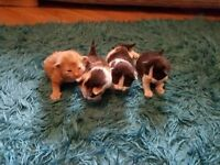 Beautiful chunky cheeky fluffy kittens for sale