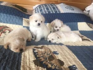 Malshi Puppies-Ready to be rehomed soon!!!