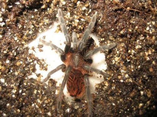 """Brachypelma Kahlenbergi (Vera Cruz Redrump) Tarantula 2.5"""" Specimen"""