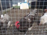 Jersey Giant pullets and crosses