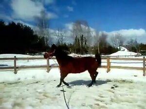 Jument quarter horse