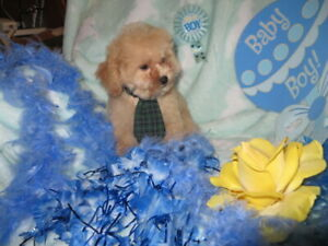 Chiot Caniche Tiny Toy Abricot Foncé Baby Face  5 lbs  adulte