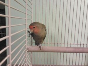 Pet female lovebird to a good home