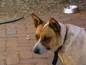 RED CATTLE DOG FEMALE DESEXED WATCH DOG Toowoomba Toowoomba City Preview