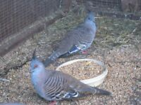 Pair of Crested Pigeons.